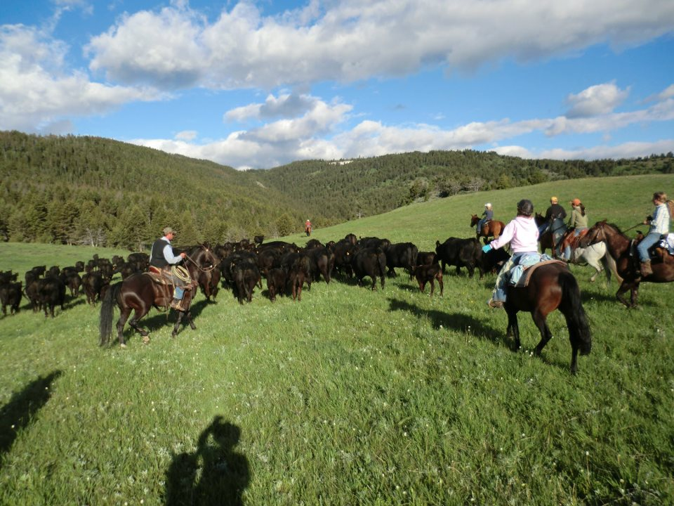 Colette's cattle moving - Sweet Grass is an ideal riding holiday for beginners