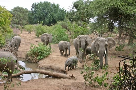 Limpopo elephant waterhole from tree hide