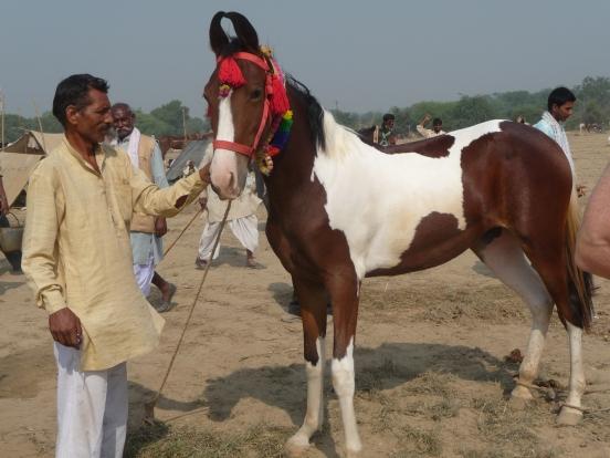 Marwari 5