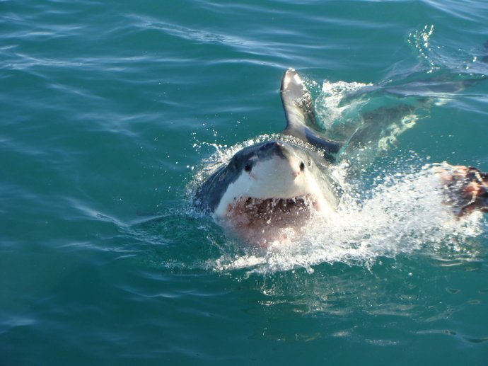 Seeing a Great White Shark lived up to expectations