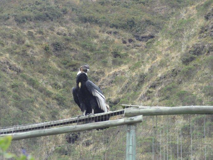 A wild Condor visits