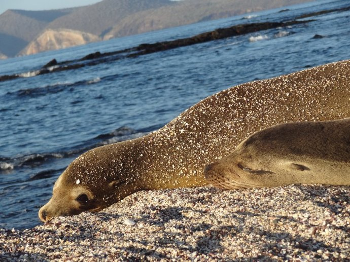 Sealions on the beach