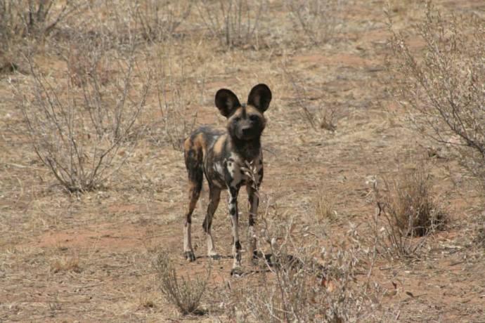 Wild dog at Naankuse
