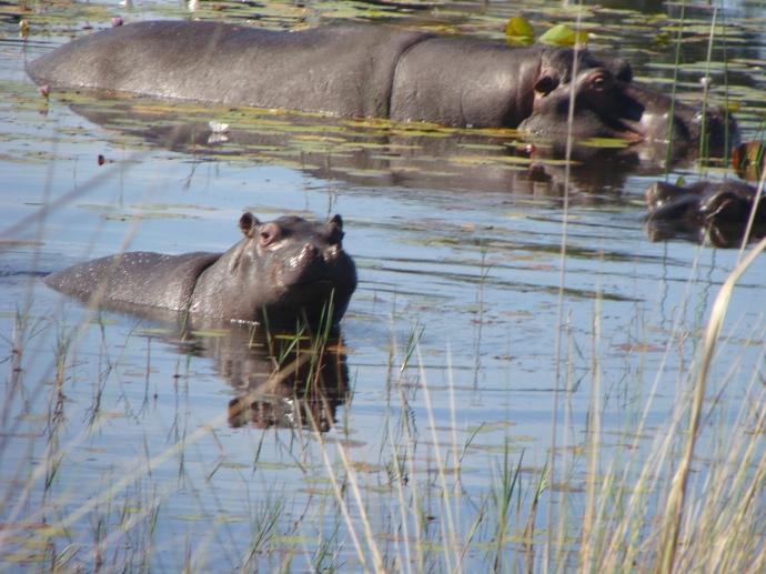 Family of Hippo