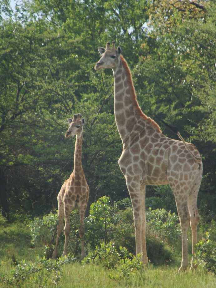 Getting close to a mother and baby giraffe