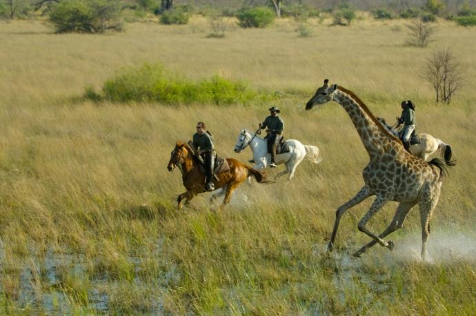 Giraffe canter 5