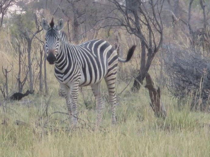 Pic: Zebra blending in with the bush