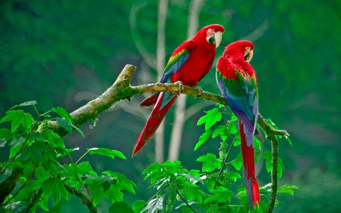 3_Scarlet-macaw