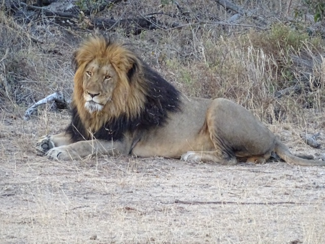 close male lion