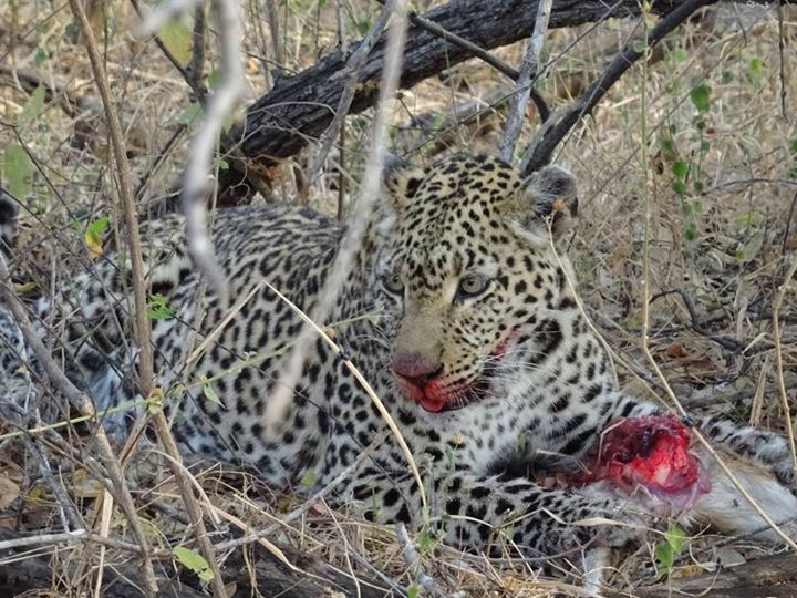 leopard with kill1