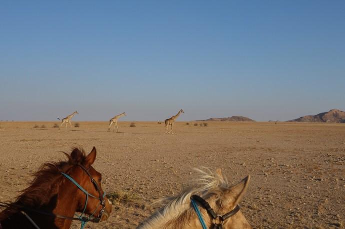PIC 11 Three giraffe
